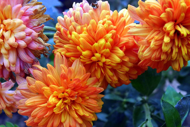 Chrysanthemum - chandramallika........ {explored!!!!}