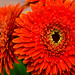 Chrysanthemum by kcma17