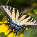 Tiger Swallowtail Butterfly - Female by Juggler Jim