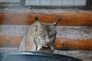 062 Lynx