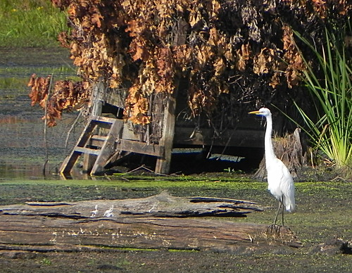 great egret and duck blind