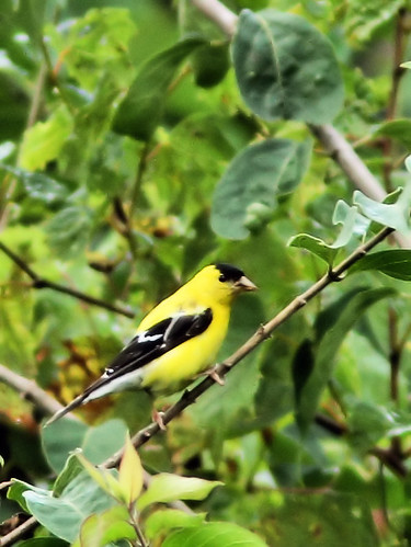American Goldfinch 20150910