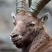 Rock goat at Gran Paradiso park