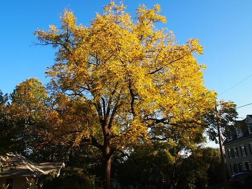 Autumnal walnut tree (02)