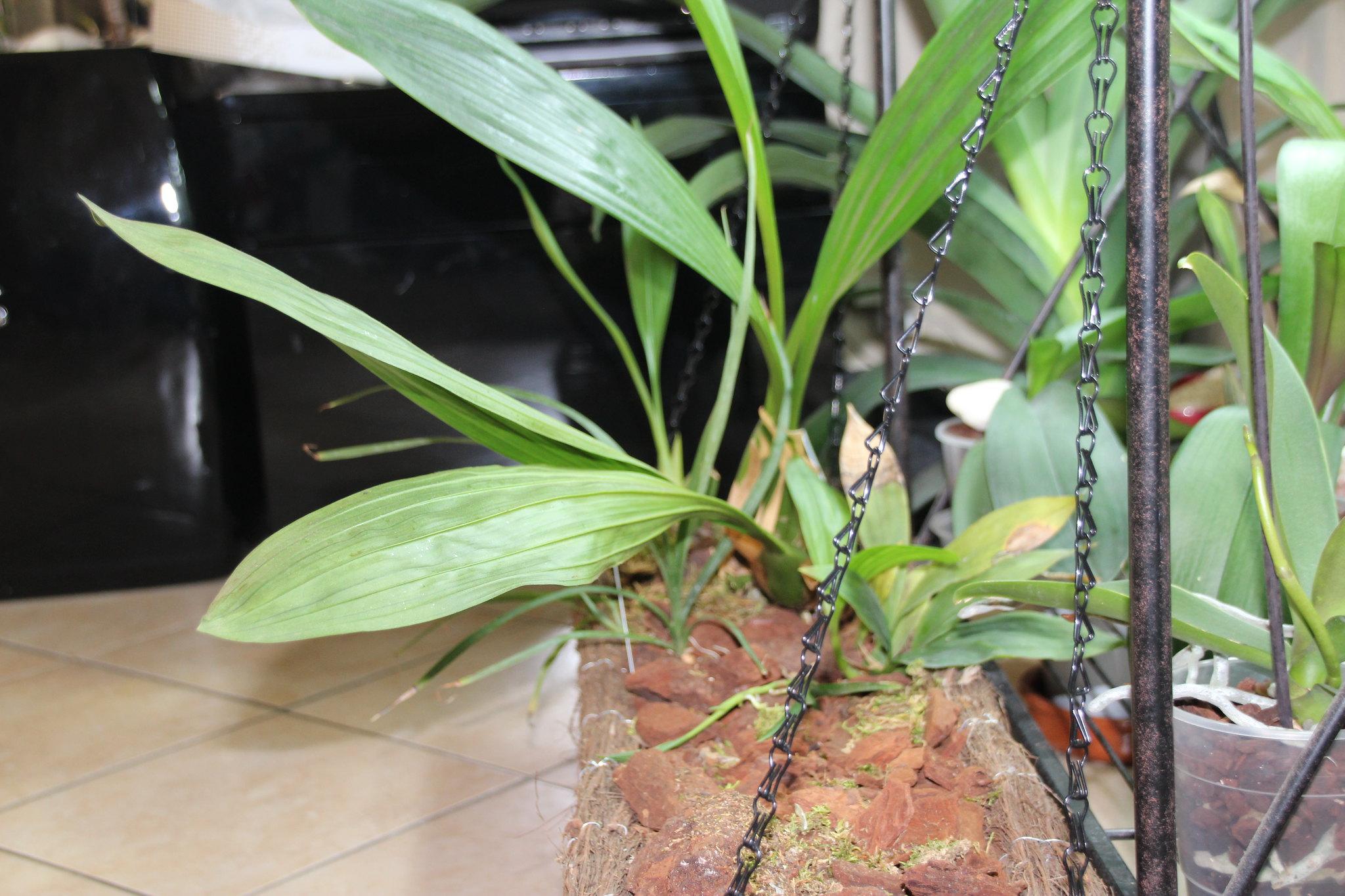Bac à orchidées d'un mètre de long 22871390886_a4e237add0_k
