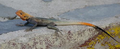ashanti ghana lizard reptile africa westafrica