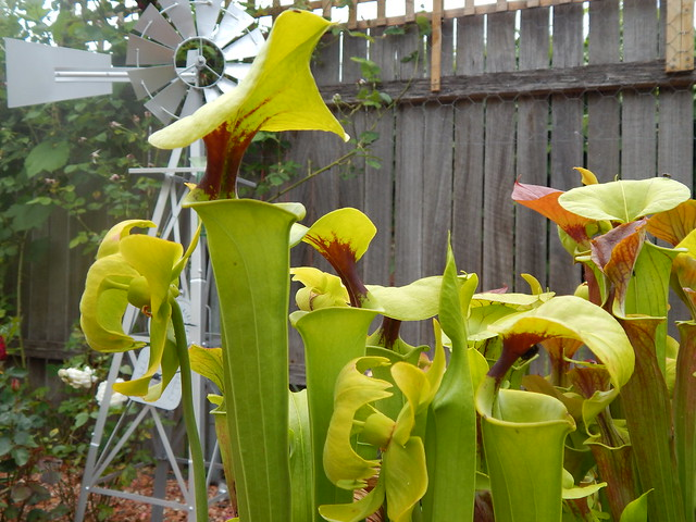 Sarracenia flava var. rugelli 'Triffid park tight throat'
