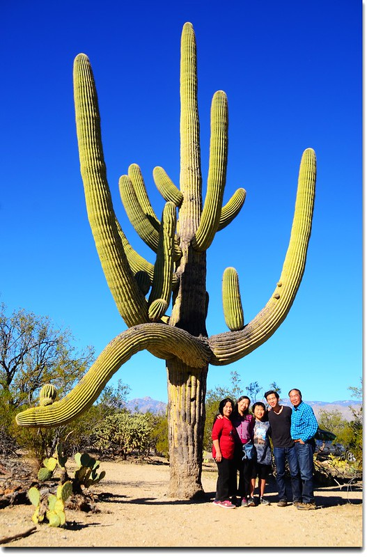 Saguaros growing on the Rincon Mountain District 8