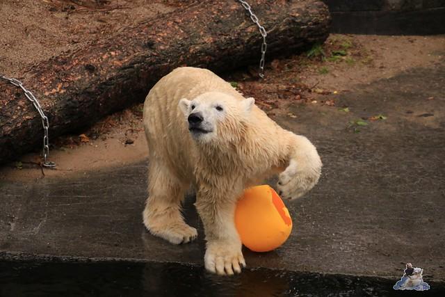Eisbär Fiete im Zoo Rostock 13.12.2015  03
