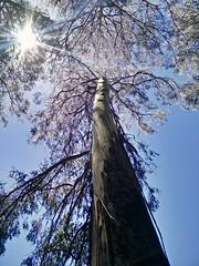 Mountain Ash eucalyptus tree at the National Rhododendron Gardens, Olinda