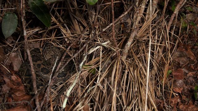 Eastern Diamondback (Crotalus adamanteus)