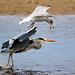 Heron & Gull by douglasjt
