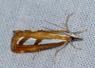 Crambid Moth (Catoptria sp.)