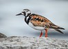 Ruddy Turnstone by Kyle Dudgeon Photography