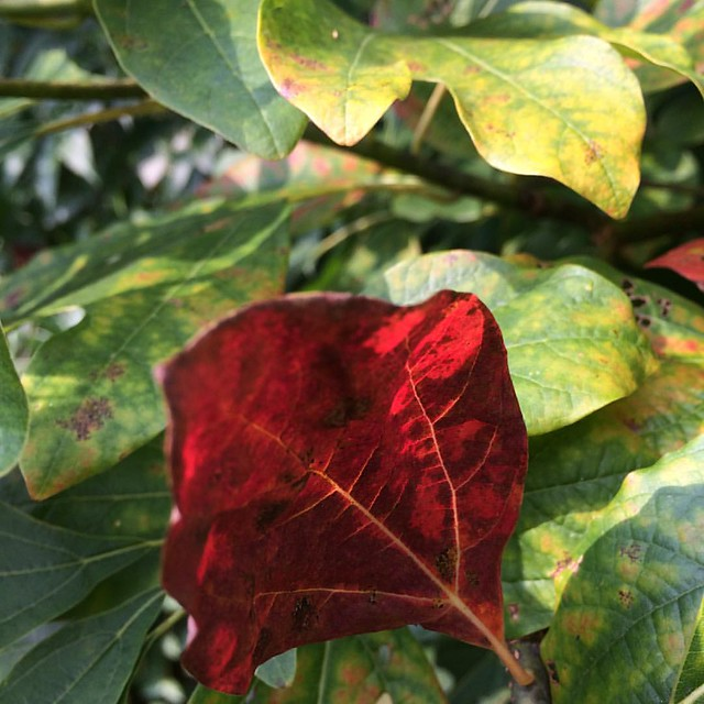 Sassafras #sassafras #fall #leaves #autumn #trees
