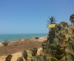Cactos florindo... #BlogAuroradeCinemaregistra #natureza #praia #brazil #canoaquebrada #flordecacto #praiacearense #falesias
