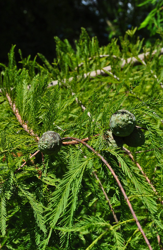 Taxodium distichum (2)