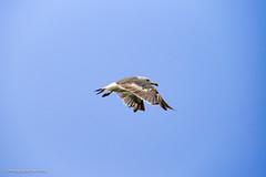 蓬莱,万鸟岛海鸥。