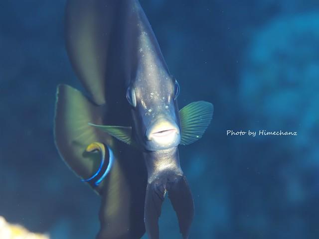 アカククリの幼魚はクリーニングされて気持ちよさそう♪