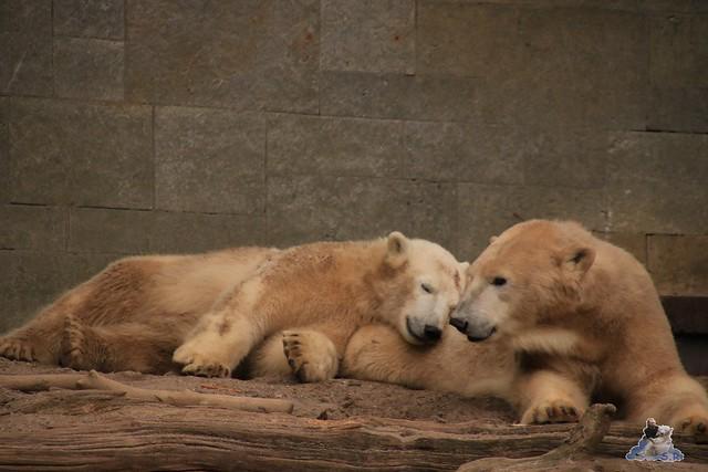 Eisbär Fiete im Zoo Rostock 05.12.2015  237