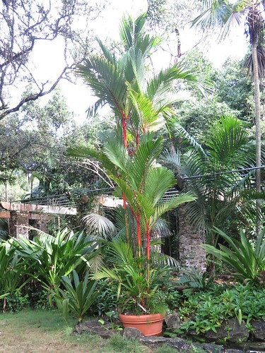 Red Sealing Wax Palm