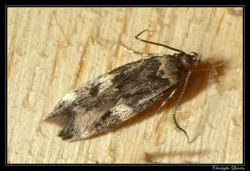 Oegoconia sp. (Oegoconia deauratella ?)