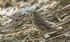 Gray-cheeked Thrush (Catharus minimus)