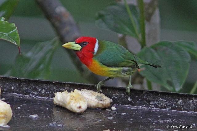 1.09290 Cabézon à tête rouge (mâle) / Eubucco bourcierii occidentalis / Red-headed Barbet