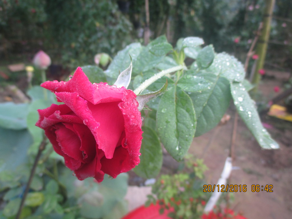cham soc hoa hong nhung sa dec (7)