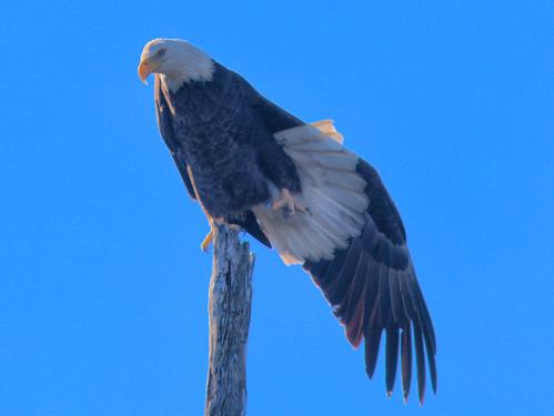 Bald Eagle female stretching 20170106