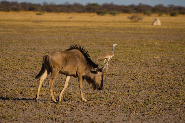 Wildebeest and Kori Bustard