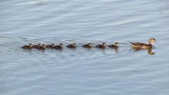 Wood Duck Mom & Ducklings