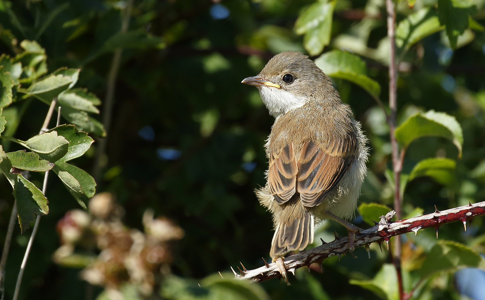 Very young Whitethroat