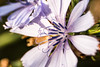 Chicory by O.S. Fisher