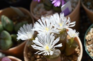 DSC_0363 Ophthalmophyllum triebneri オフタルモフィルム 風琴玉(=Conophytum friedrichiae)