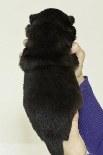 Nori-Litter3-Day17-Pup2(female)b