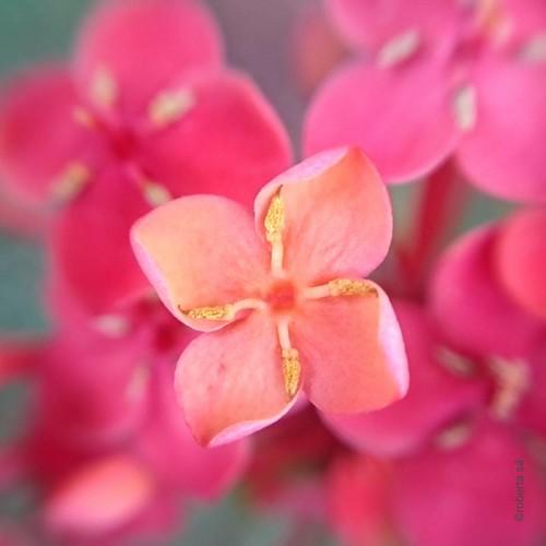 #flores #flor #flower #flowerinstagram #flowerstalking #flordodia #floweroftheday #verdeolhar #garden #macro #macrophotography #phonephoto #semfoco
