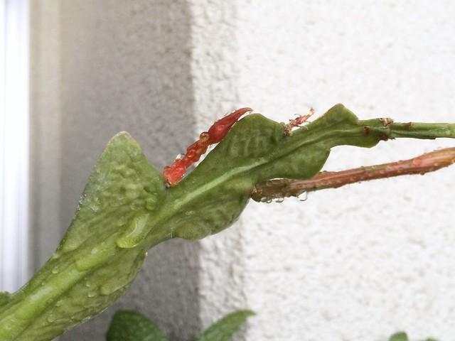 2015/09/23 有角孔雀に初の花芽