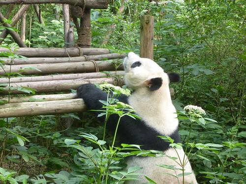 CH-Chengdu-Panda-géant (5)