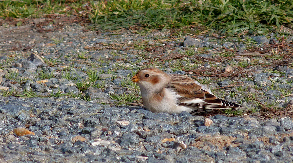 Snow Bunting FLC 11Oct15 a