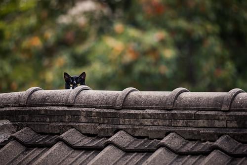 Cat on a Hanok Roof