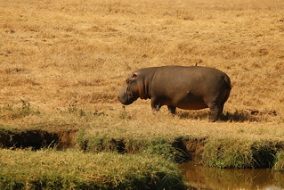So many Hippos in Africa.