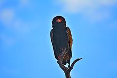DSC_5147 Bataleur Eagle 14 Kruger SA