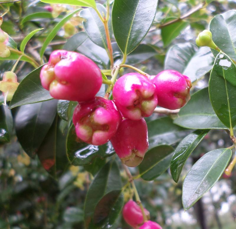 Myrtle berry