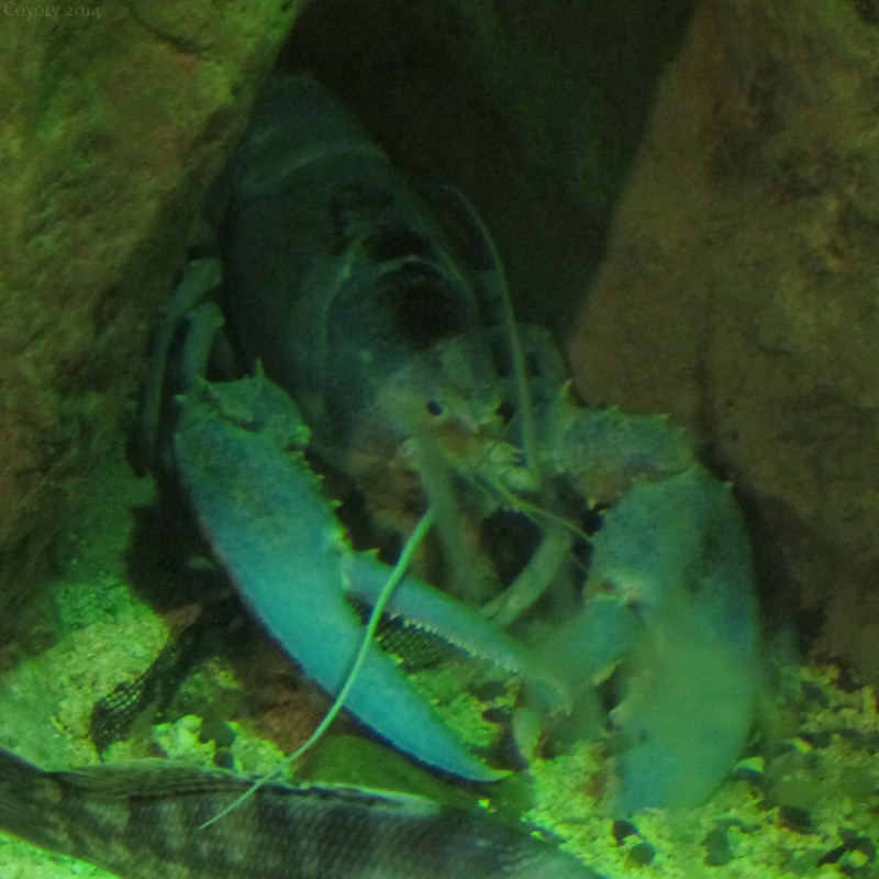 American blue lobster