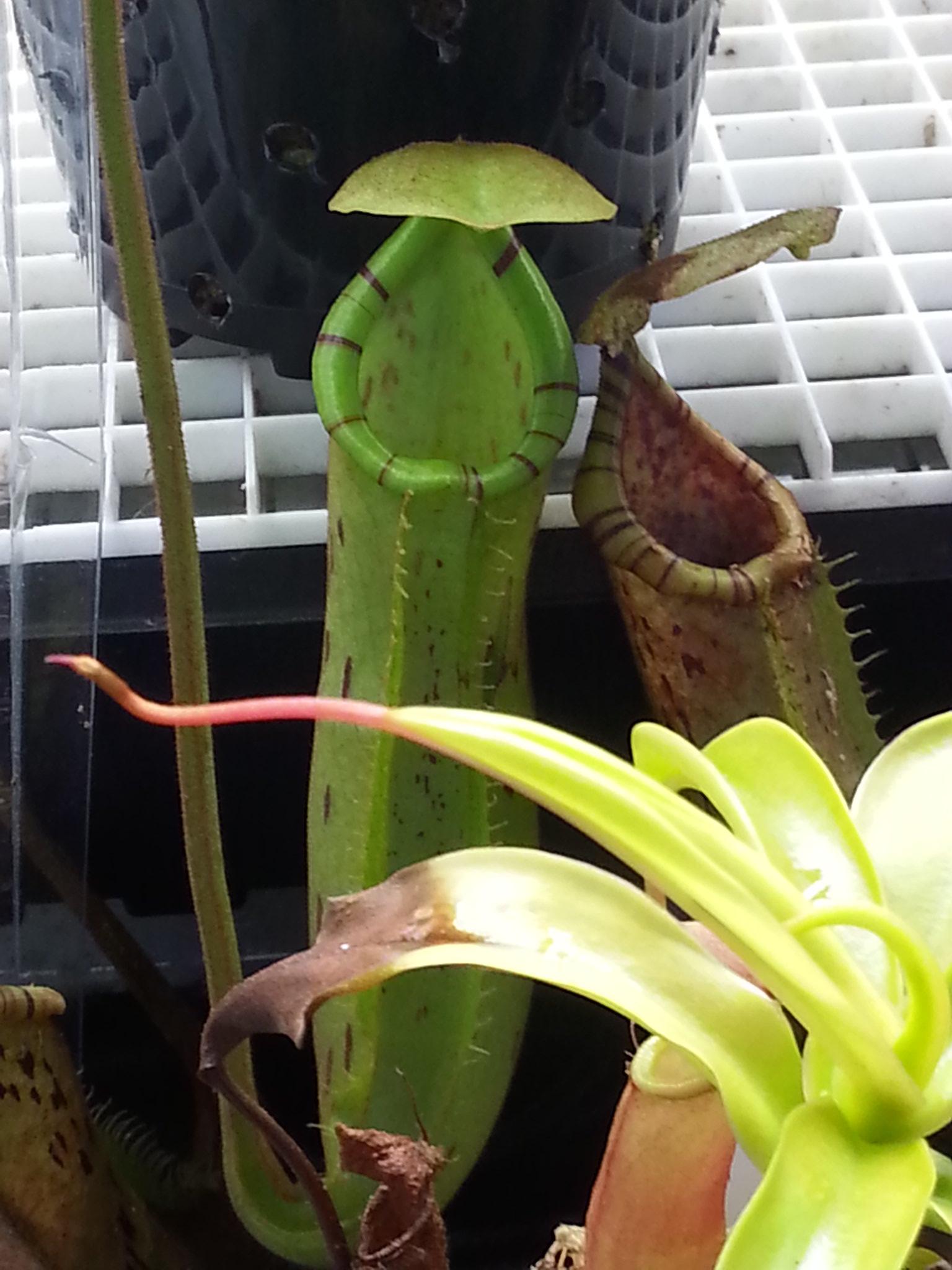 N. sumatrana x (platychila x fusca)