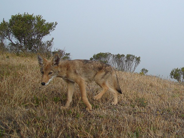 juvie coyote