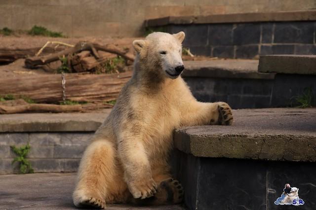 Eisbär Fiete im Zoo Rostock 26.09.2015   0196
