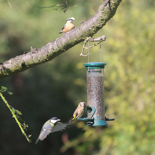 Nuthatch, goldfinch, great tit