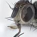 Siphona geniculata by Martin Cooper Ipswich